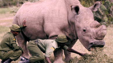Photo of Near the end of the North White Rhinoceros