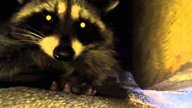 Photo of Why Can't You Disregard Raccoon Removal in Vancouver?