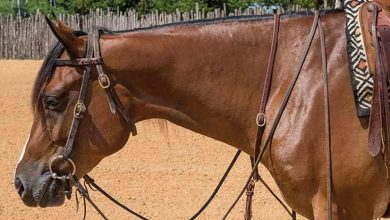Photo of Know Everything About Horse Bridles UK